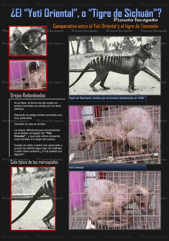 comparativa 'Yeti Oriental' vs 'Tilacino'