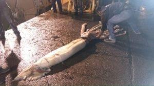 Los restos de lo que parecía un Calamar Gigante de 15 metros se hacen virales 4