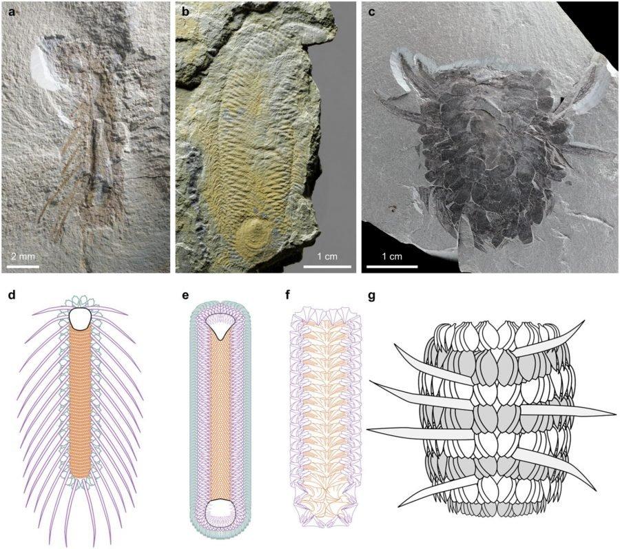 Partes del animal y supuesta estructura  Crédito: Zhao, F. et al. Scientific Reports. 2017