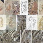 Orthrozanclus elongata, un nuevo animal prehistórico con armadura y espinas 2