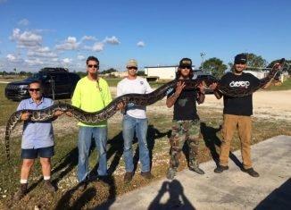 El cazador de pitones Jason Leon (extremo derecho) atrapó una serpiente pitón de más de 5 metros de largo cerca de Big Cypress National Preserve en el sur de Florida. Créditos: SFWMD