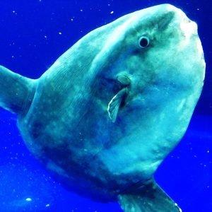 Un pez de más de 2000kg, el pez óseo más pesado del mundo