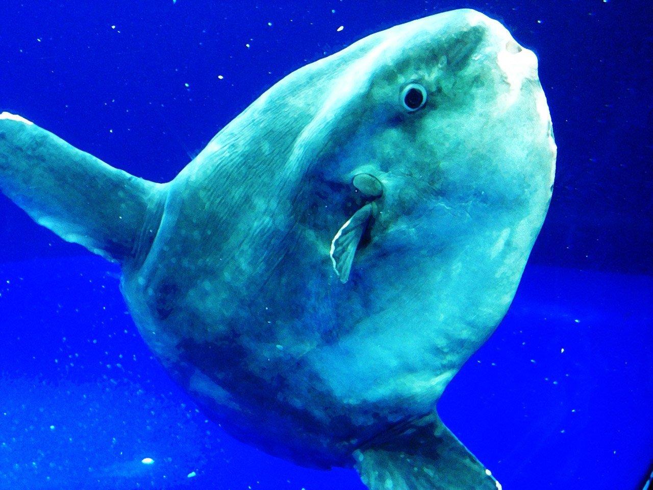 Ocean Sunfish Mola Mola, Planeta Incógnito