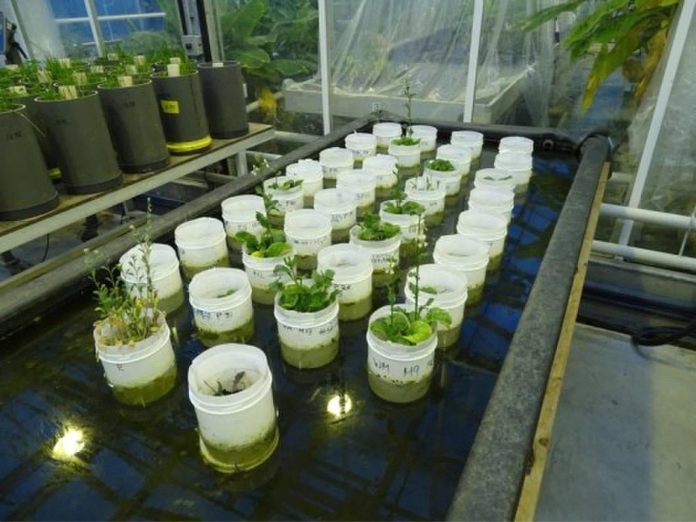 El experimento dio como resultado varias plantas con flores algunos de ellos en una simulación del suelo marciano.Las macetas se pusieron en agua para mantener fresca la tierra que contenía las lombrices. Crédito: Wieger Wamelink