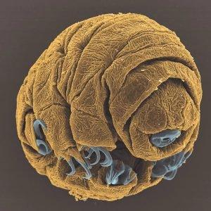 Este precioso bebé tardígrado podría reproducirse asexualmente