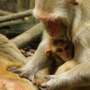 Diez monos fueron sometidos durante cuatro horas a respirar gases diésel