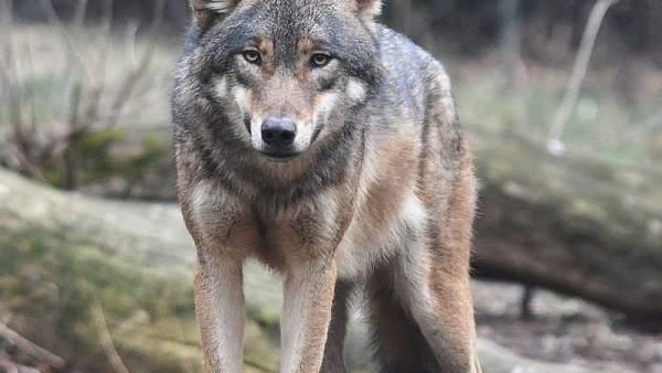Un nuevo ataque de lobos en Piedrahíta (Ávila) acaba con un ternero de dos meses