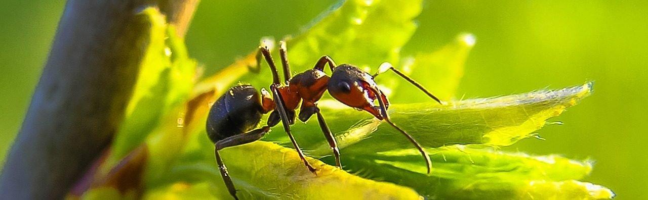 """Hormiga, fotografía de macro de <a href=""""https://pixabay.com/users/diego_torres/"""">Diego Torres</a>"""