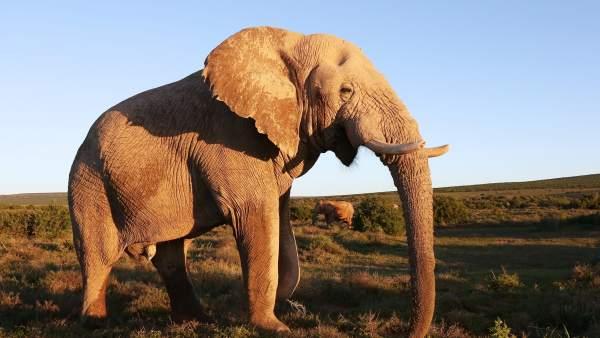 El primer mapa genético del elefante confirma dos especies en África 6