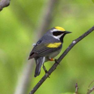 Una investigación sobre la migración de los pájaros cantores revela la clave de la disminución de algunos especímenes raros