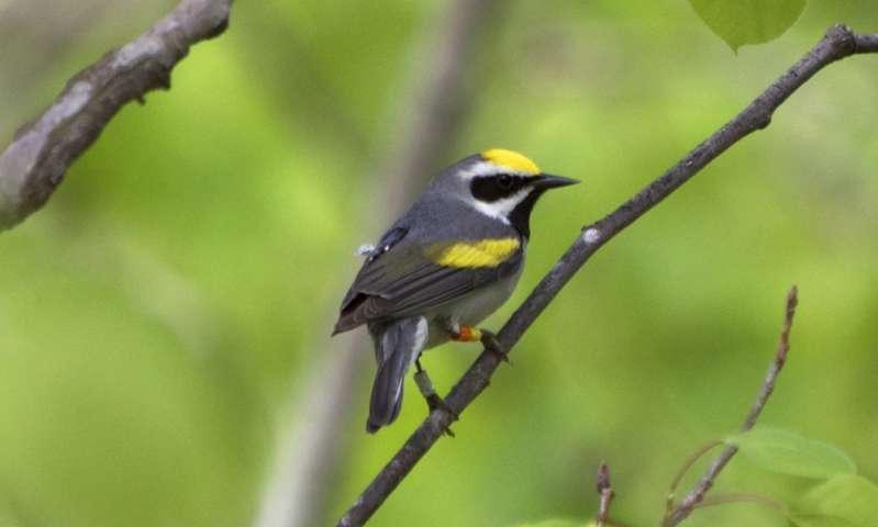 Una investigación sobre la migración de los pájaros cantores revela la clave de la disminución de algunos especímenes raros 1