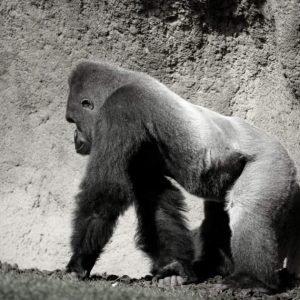 La evolución del bipedismo en cuestión. Los gorilas no solo se apoyan en los nudillos