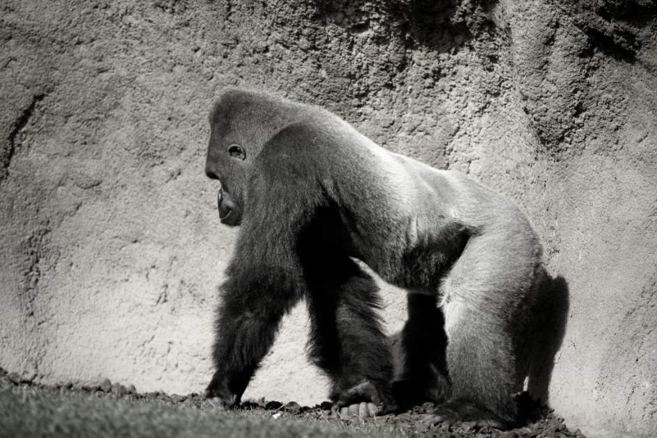 La evolución del bipedismo en cuestión. Los gorilas no solo se apoyan en los nudillos 1