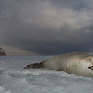El canto y las heces de ballenas usadas para desvelar secretos de la Antártida