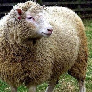 Activistas contra la clonación intentaron secuestrar a la oveja Dolly en 1998