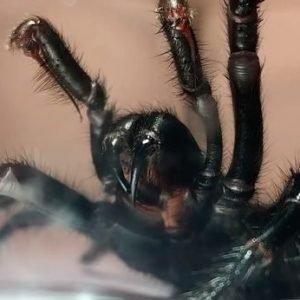 'Colossus', la araña venenosa que puede matarte en 15 minutos