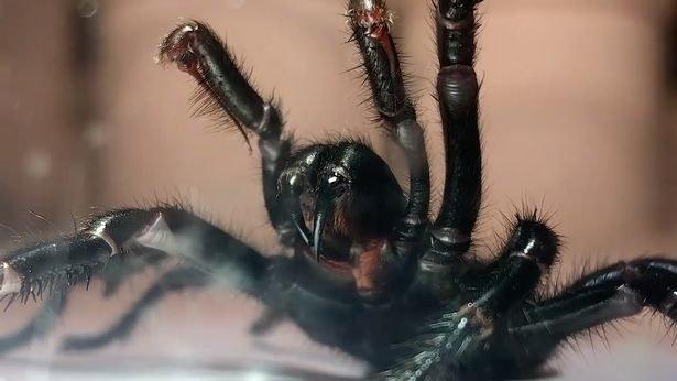 'Colossus', la araña venenosa que puede matarte en 15 minutos 1