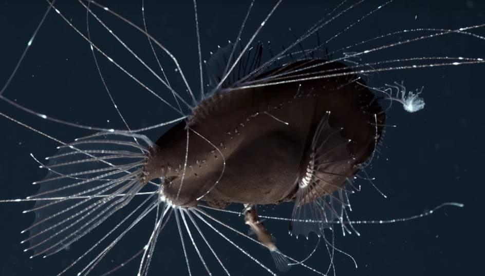 Descubren una especie de pez que no deja de tener sexo desde que nace