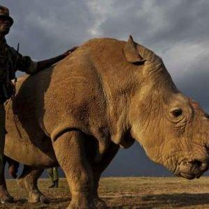 Empeora la salud de Sudán, el único macho de rinoceronte blanco del norte