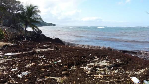 La Marea Marron Que Inquieta En Las Antillas, Planeta Incógnito