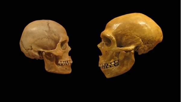 Un cráneo de humano moderno (i) comparado con el de otros homínidos (d).