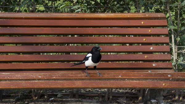 Ejemplar de urraca en un banco del Parque del Retiro