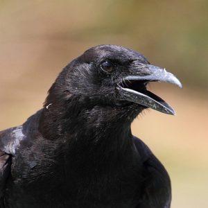 El color del plumaje de las aves determina en qué zonas pueden habitar
