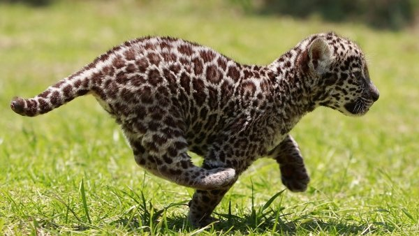 Cachorro de jaguar