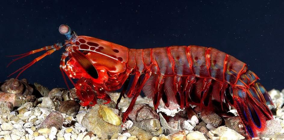 La gamba mantis inspira el desarrollo de un GPS submarino 1
