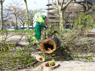 Madrid inicia la regeneración de los árboles de la Castellana y mantiene las revisiones en los parques