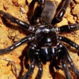 Muere en Australia la araña más vieja del mundo a los 43 años