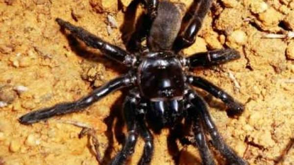Araña más longeva del mundo