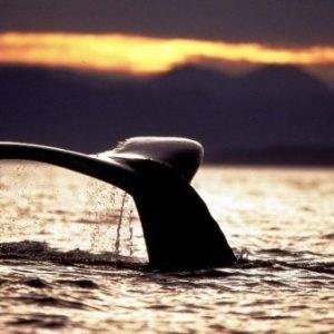 """""""Si las canciones de las ballenas jorobadas son como la música clásica, las boreales hacen jazz"""""""