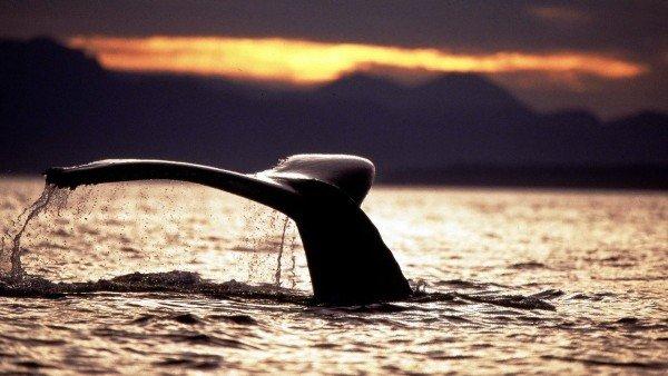 Aleta de una ballena jorobada