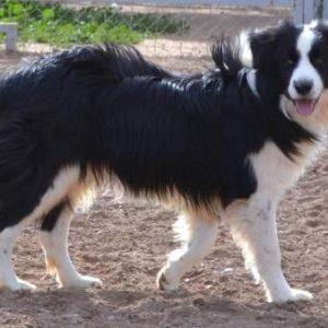 ¿Cuáles son las razas de perro más y menos inteligentes?