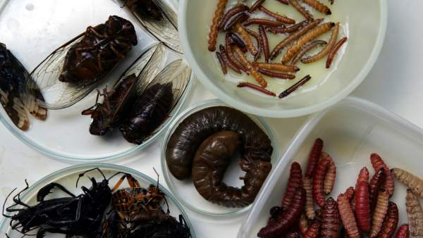 Todos los humanos, como la mayoría de mamíferos, están genéticamente preparados para digerir insectos 1