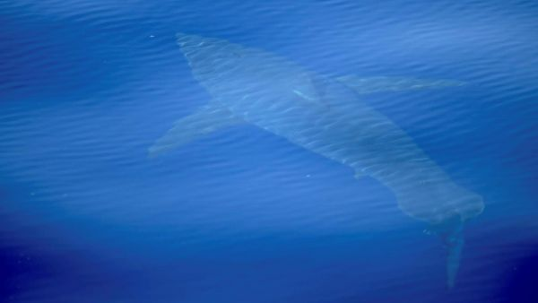 Un tiburón blanco en Mallorca