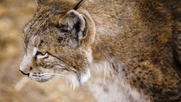 Estas Son Las 8 Especies En Peligro De Extincion En Espana 1, Planeta Incógnito