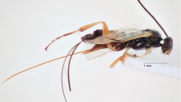 Dolichogenidea xenomorfa