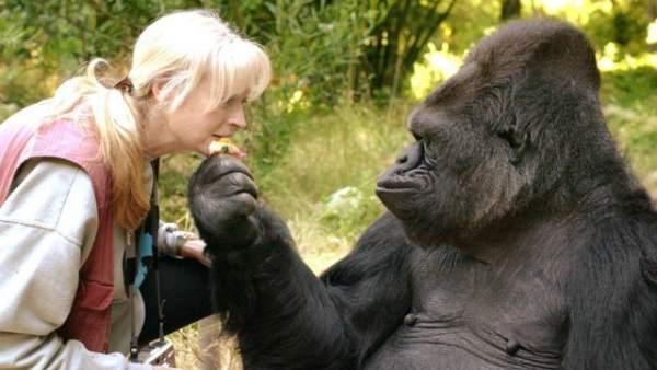 Muere Koko, la única gorila capaz de 'hablar' a través del lenguaje de signos