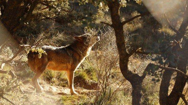 Pastando Con Lobos Un Proyecto Que Demuestra Que La Coexistencia Entre El Ganado Y El Lobo Es Posible Con Mastines 1, Planeta Incógnito