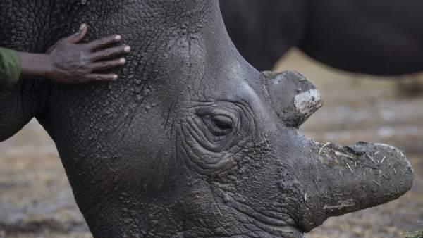 Un rinoceronte banco del norte al borde de la extinción