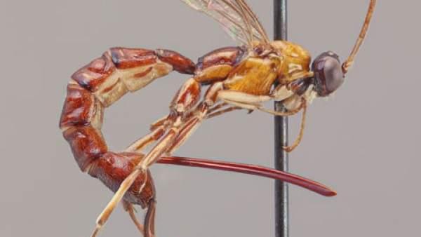 Descubren un tipo de avispa con un aguijón gigante que inyecta veneno y sus propios huevos