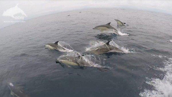 Espectáculo natural: avistan más de 3.000 delfines mulares en Galicia 1