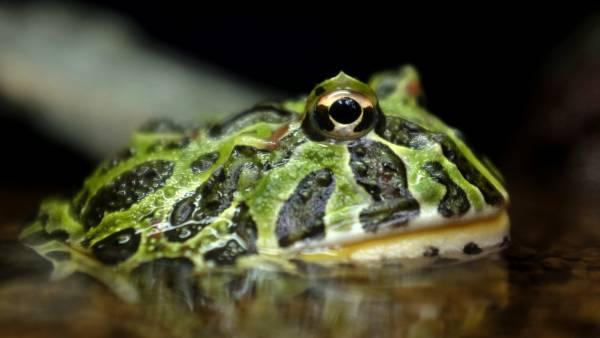 Redescubren en Colombia y Ecuador cuatro especies de anfibios que se consideraban extinguidas