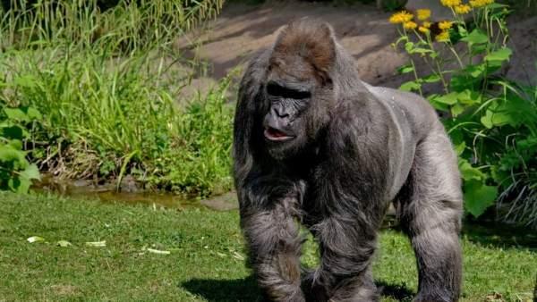 Muere El Gorila Mas Viejo De Europa A Los 55 Anos Y Deja 6 Hijos Y 14 Tataranietos, Planeta Incógnito
