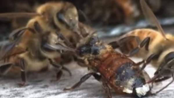 El espectacular vídeo de unas abejas limpiando a una compañera que cayó a un depósito de miel 1