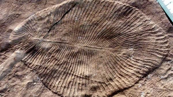 Grasa Fosilizada Revela Que Dickinsonia Es El Animal Mas Antiguo Conocido, Planeta Incógnito