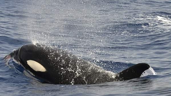 Orca en la isla de El Hierro