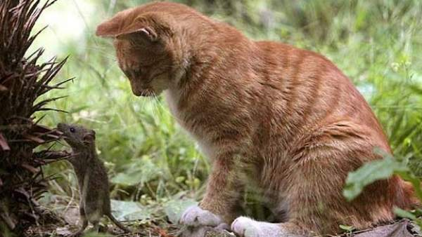 Un Estudio Tumba La Creencia Popular De Que Los Gatos Son Buenos Cazadores De Ratas, Planeta Incógnito